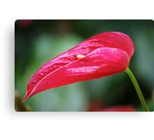 Coy - Rose Red Anthurium Canvas Print