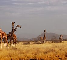 A [collective noun] of giraffes by dfgumby