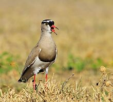 Plover Talk - Funny Nature and Entertaining Wildlife by LivingWild