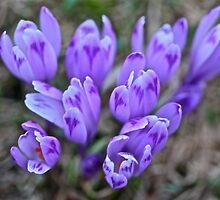 Crocus sativus .  Krowiarki pass . Gorce Mountains.Poland. 1348 views. Thank you so much !!!! by Brown Sugar ! by © Andrzej Goszcz,M.D. Ph.D