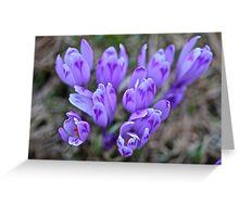 Crocus sativus .  Krowiarki pass . Gorce Mountains.Poland. 1348 views. Thank you so much !!!! by Brown Sugar ! Greeting Card