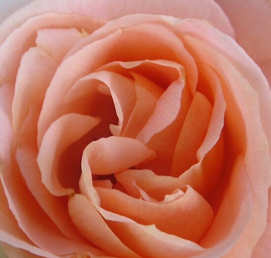 PEACH ROSE by Colleen2012