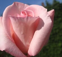 PINK ROSE CLOSE UP by Colleen2012