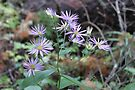 Wild Aster by Sandra Foster