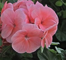 GERANIUMS by Colleen2012