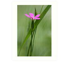 Deptford Pink - Dianthus Art Print