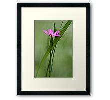 Deptford Pink - Dianthus Framed Print