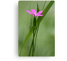 Deptford Pink - Dianthus Canvas Print