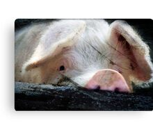 Peeking Pig Canvas Print