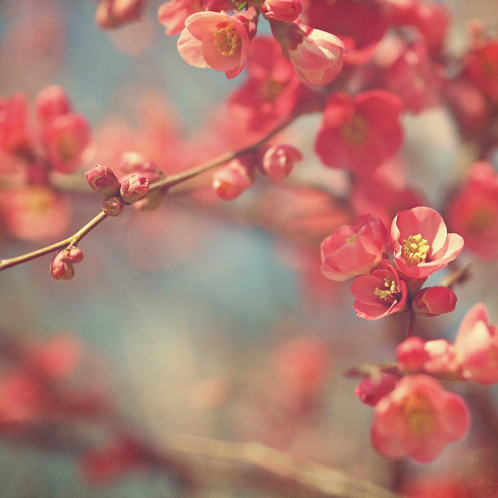 quince by sleepyjeanne