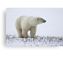 Polar Bear On The Prowl. Churchill, Canada Canvas Print