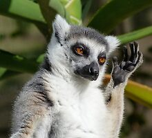 Ring-tailed Lemur In Sunshine by Margaret Saheed
