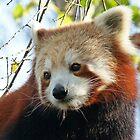 Nepalese Red Panda Portrait by Margaret Saheed