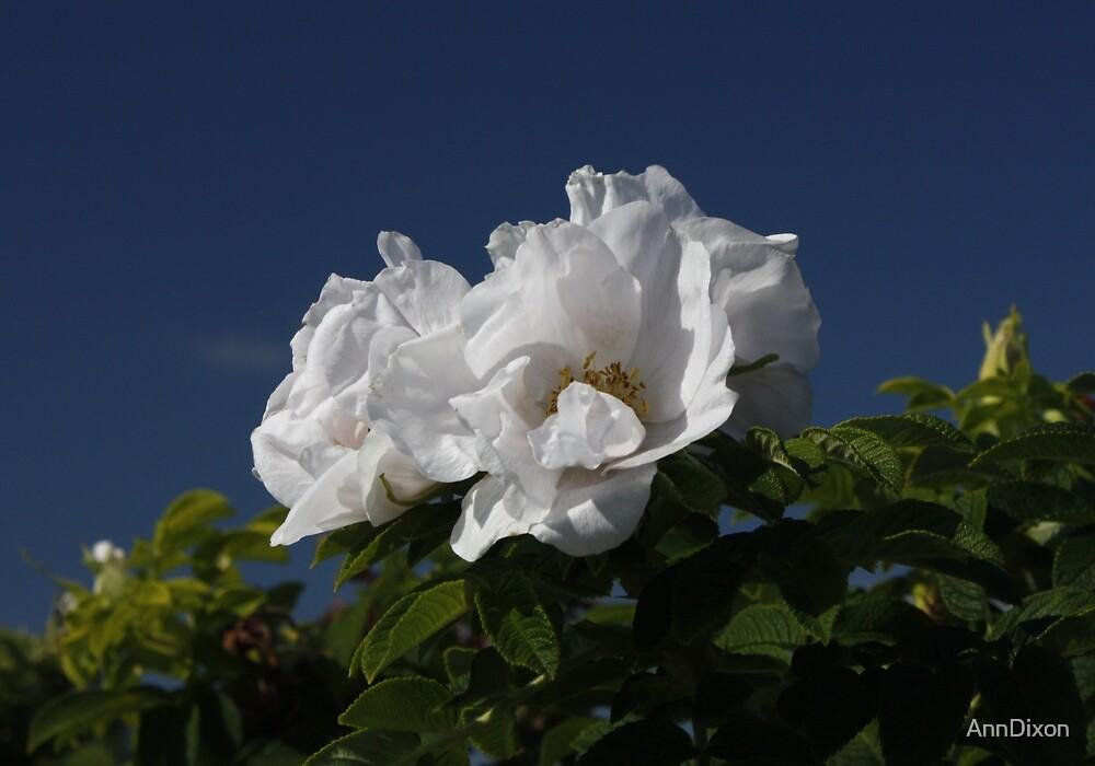 White Wild Rose by AnnDixon