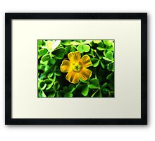 Oxalis Flower  Framed Print