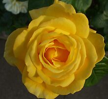 Yellow Rose in the Setting Sun by Babz Runcie
