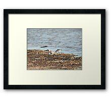 Sanderling breeding plumage Framed Print