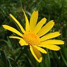 yellow daisy - wildflower bank by Babz Runcie