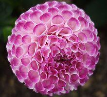 Lilac Pompom Dahlia at Harmony Garden by Babz Runcie