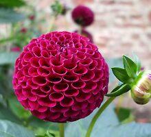 Claret Pompom Dahlia at Harmony Garden by Babz Runcie