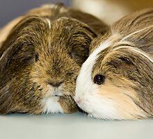 Two cute cavies by Wolf Sverak