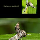 The Abbott's Sphinx Moth by DigitallyStill