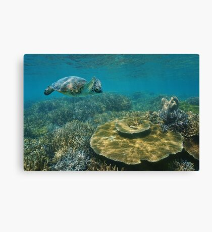 A green sea turtle underwater over coral reef Canvas Print