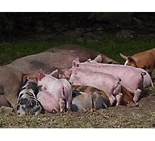 Lunchtime for Piggies Photographic Print