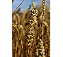 Ear of wheat Photographic Print