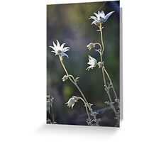 Flannel Flowers in soft light Greeting Card