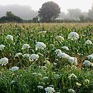 Queen Anne's Field by WildThingPhotos