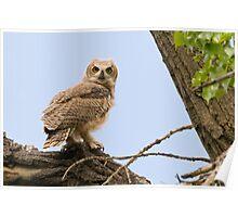 Prospect Owlet Poster