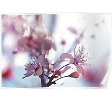 Cherry Blossom Beautys Poster