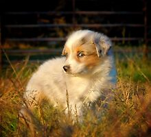 Toy Australian Shepherd by blueribbons
