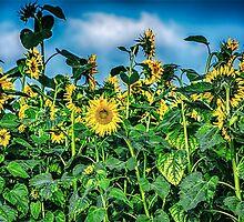 Sunflower Field by BonniePhantasm