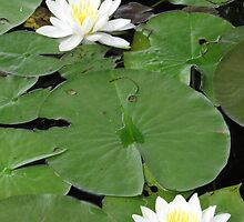 Lilies on the Water   by DevinStar