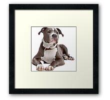 staffordshire terrier blue Framed Print