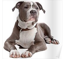 staffordshire terrier blue Poster