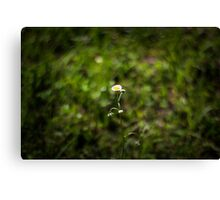Daisy on Blurred Nature Background Canvas Print