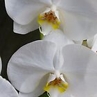 White Orchids by Dennis Reagan