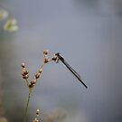 Black Damselfly by Bob Hardy