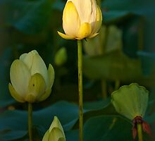 Lotus and dragonfly by Owed to Nature