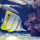 Copperband Butterflyfish by Diego  Re