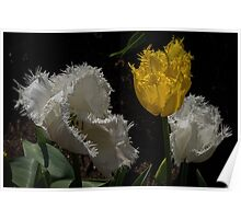 White and Yellow crinkle edged Tulips at Tesselaar Victoria Australia 20160923 7587  Poster