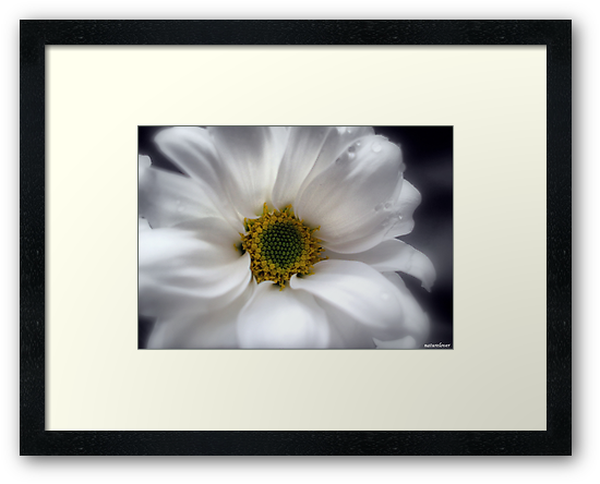 Tears On My Pillow.............Gerbera by naturelover