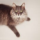 Semi long haired english blue male cat by Lyn  Randle