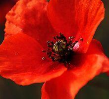 Poppy by NJMphotography