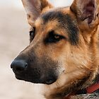 German Shepard by Alan May
