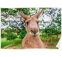 Big Red Kangaroo Poster