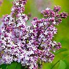 Lavender Lilacs by Christina Rollo